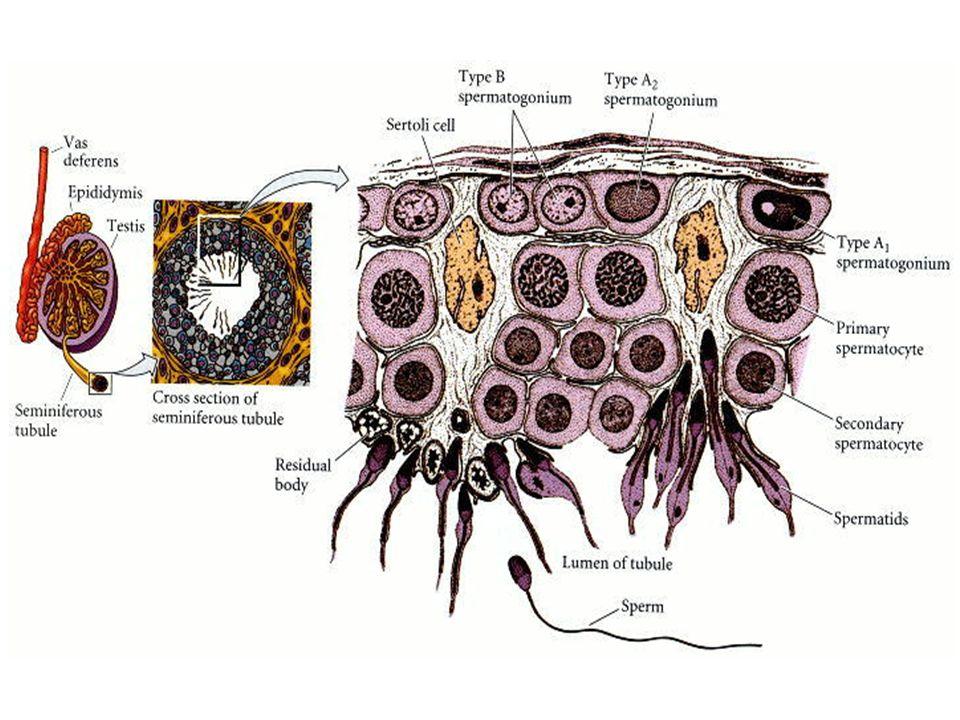 Testiculos com Trypan Blue A: Controle D: LHRH + Irradiados B: Irradiados C: Imunizados LHRH