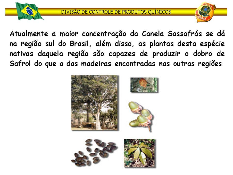 DIVISÃO DE CONTROLE DE PRODUTOS QUÍMICOS Atualmente a maior concentração da Canela Sassafrás se dá na região sul do Brasil, além disso, as plantas des