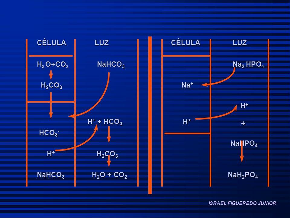CÉLULA LUZ CÉLULA LUZ H 2 O+CO 2 NaHCO 3 Na 2 HPO 4 H 2 CO 3 Na + H 2 CO 3 Na + H + H + H + + HCO 3 H + + H + + HCO 3 H + + HCO 3 - HCO 3 - NaHPO 4 NaHPO 4 H + H 2 CO 3 H + H 2 CO 3 NaHCO 3 H 2 O + CO 2 NaH 2 PO 4 - ISRAEL FIGUEREDO JUNIOR
