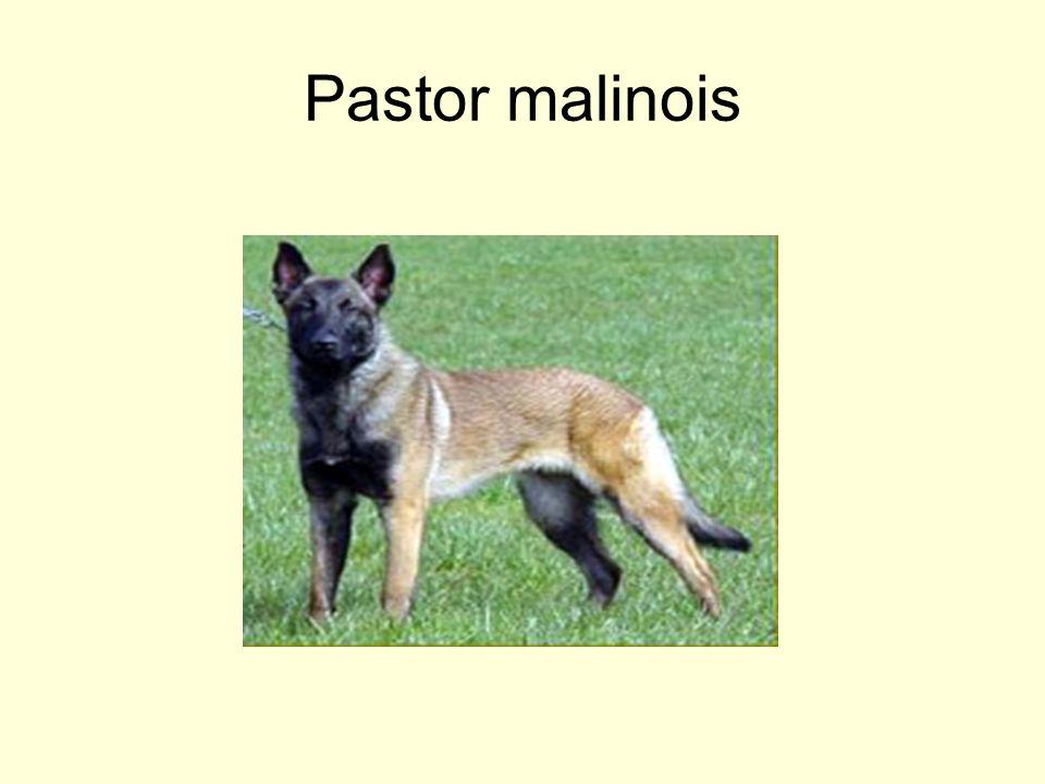 Pastor malinois
