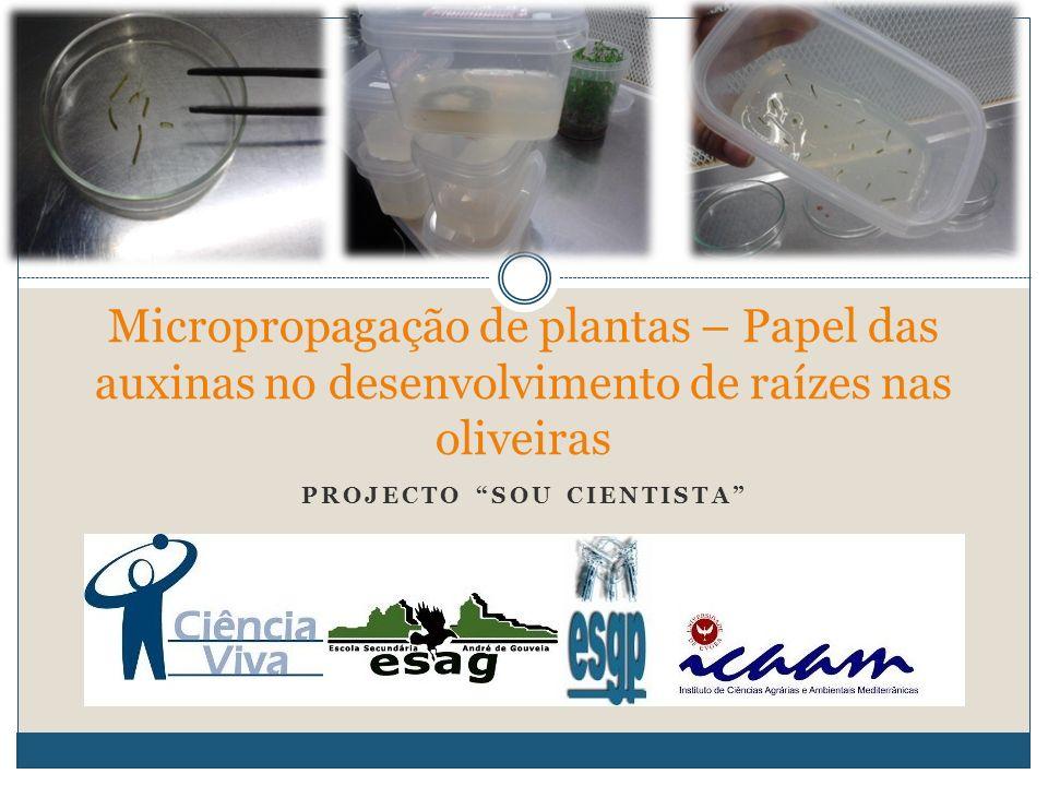 Micropropagação de plantas – Papel das auxinas no desenvolvimento de raízes nas oliveiras PROJECTO SOU CIENTISTA