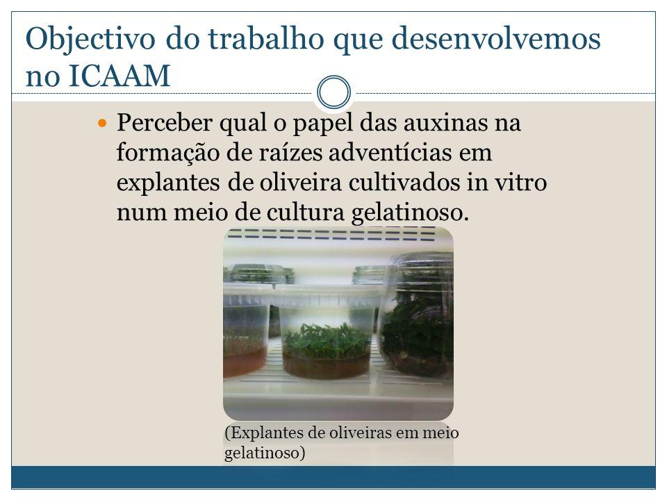 Objectivo do trabalho que desenvolvemos no ICAAM Perceber qual o papel das auxinas na formação de raízes adventícias em explantes de oliveira cultivad