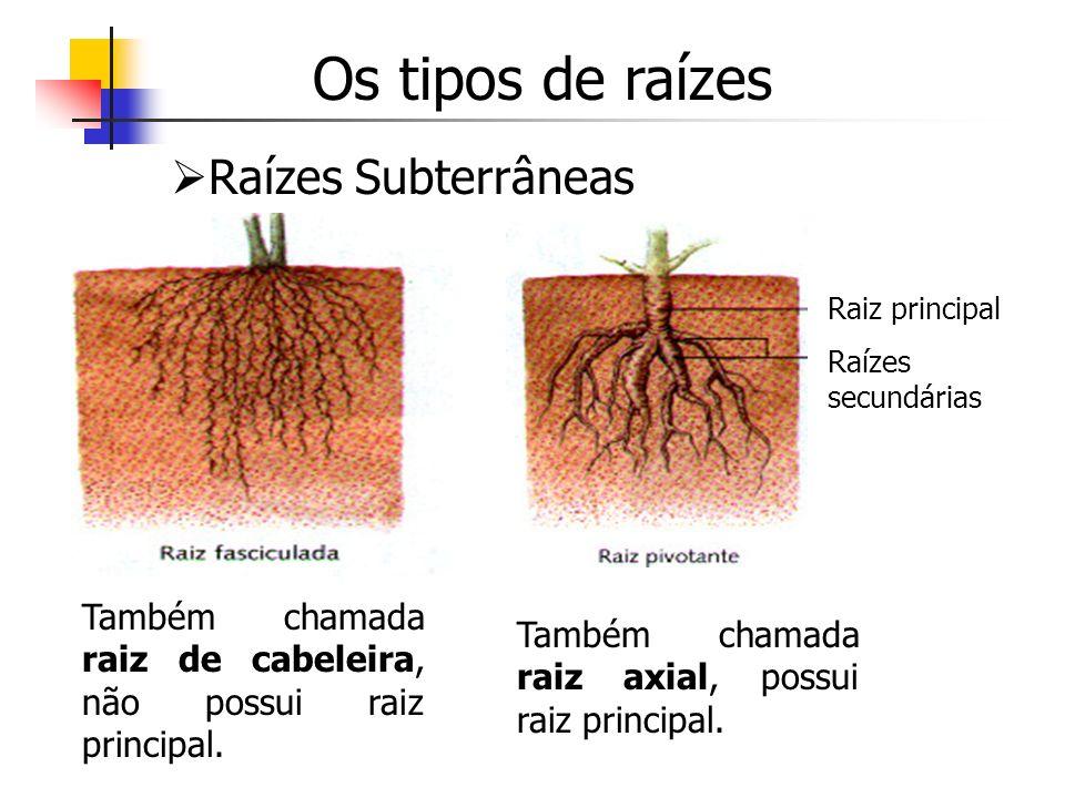 Os tipos de raízes Raízes Subterrâneas Também chamada raiz de cabeleira, não possui raiz principal. Raiz principal Raízes secundárias Também chamada r