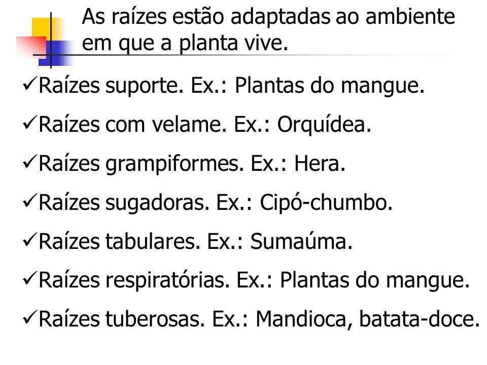 Raízes suporte. Ex.: Plantas do mangue. Raízes com velame. Ex.: Orquídea. Raízes grampiformes. Ex.: Hera. Raízes sugadoras. Ex.: Cipó-chumbo. Raízes t