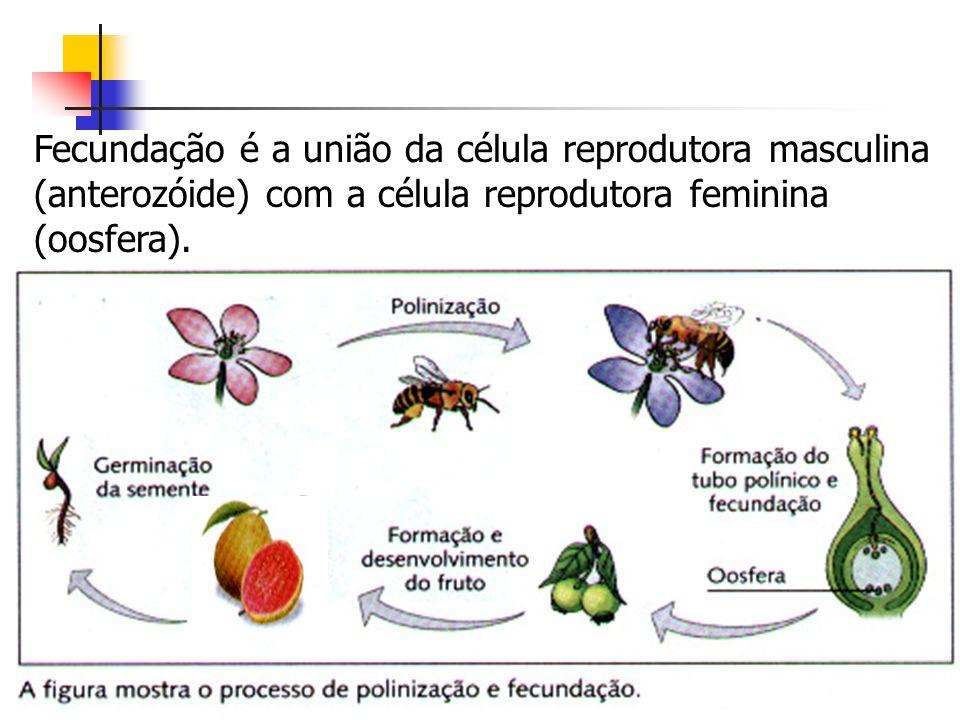 Fecundação é a união da célula reprodutora masculina (anterozóide) com a célula reprodutora feminina (oosfera).
