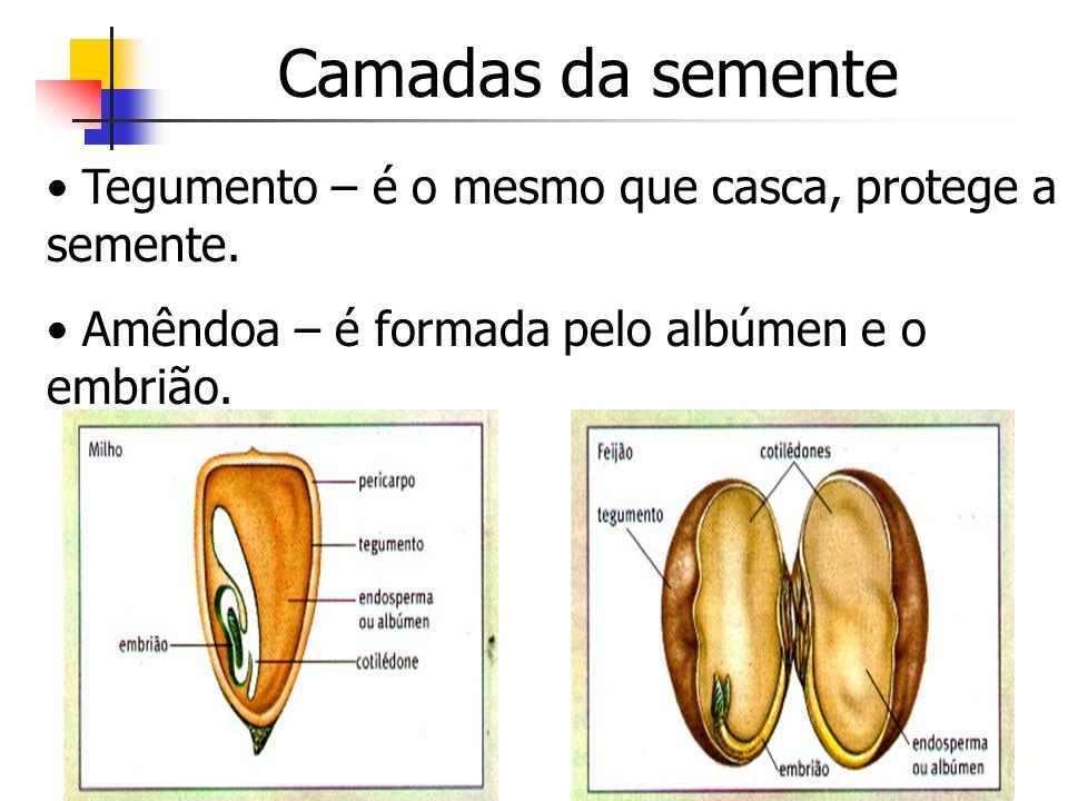Camadas da semente Tegumento – é o mesmo que casca, protege a semente. Amêndoa – é formada pelo albúmen e o embrião.