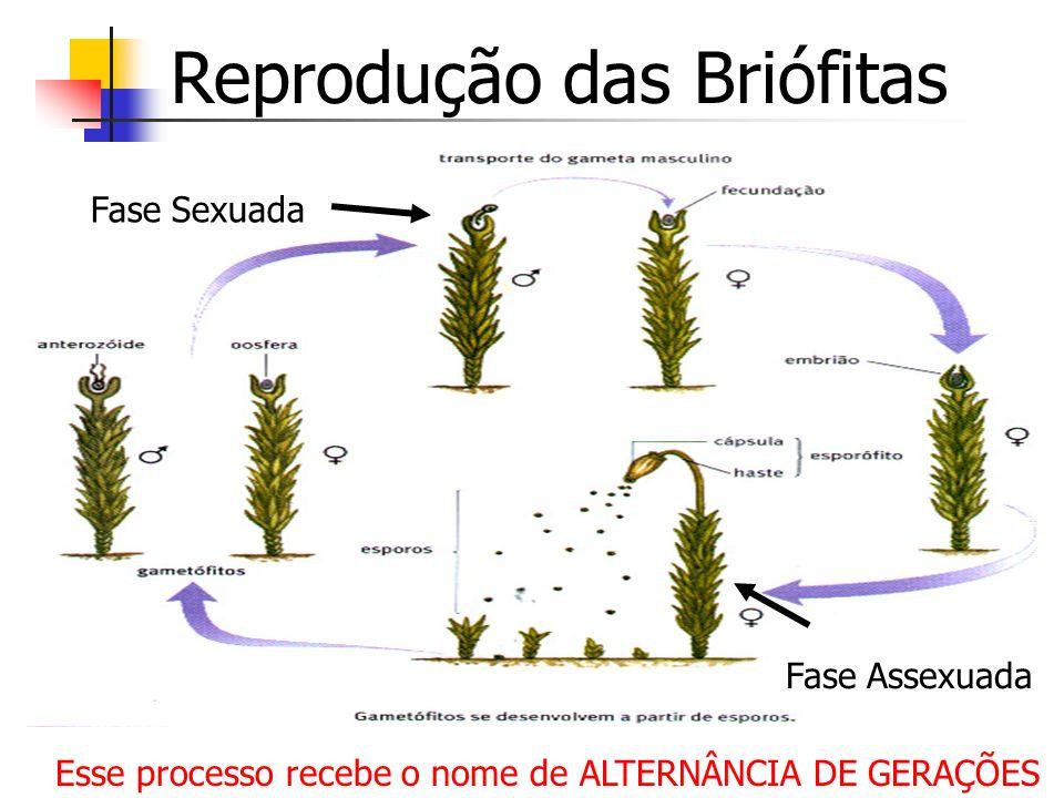Reprodução das Briófitas Esse processo recebe o nome de ALTERNÂNCIA DE GERAÇÕES Fase Sexuada Fase Assexuada