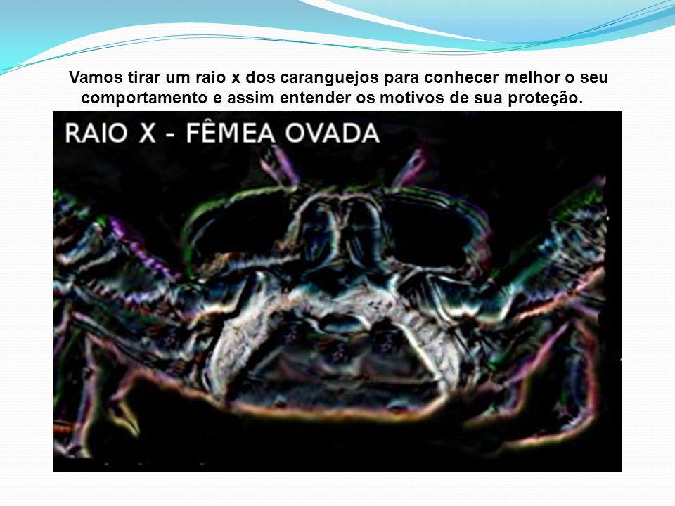 Campanha Educativa: O Raio X do Caranguejo-uçá – Conhecer para Protegê-lo. A Ecobiologia do Caranguejo-uçá (Ucides cordatus) que todos devem saber. Pa