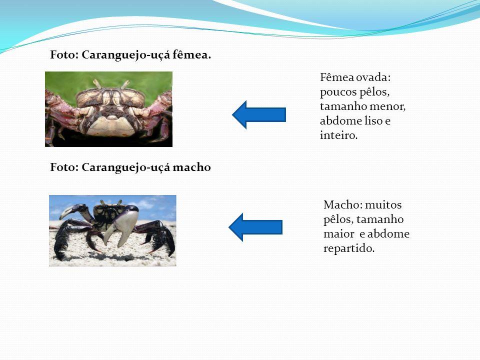 Qual a diferença entre machos e fêmeas ? A fêmea é pequena e apresenta um abdome semicircular e alargado totalmente diferente do macho. Afastando com