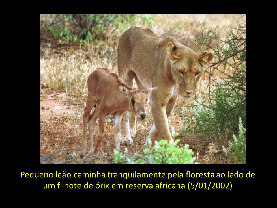 Filhotes de tigres dividem o 'berço' do zoológico de Belgrado com cãezinhos também recém-nascidos (3/01/2002)