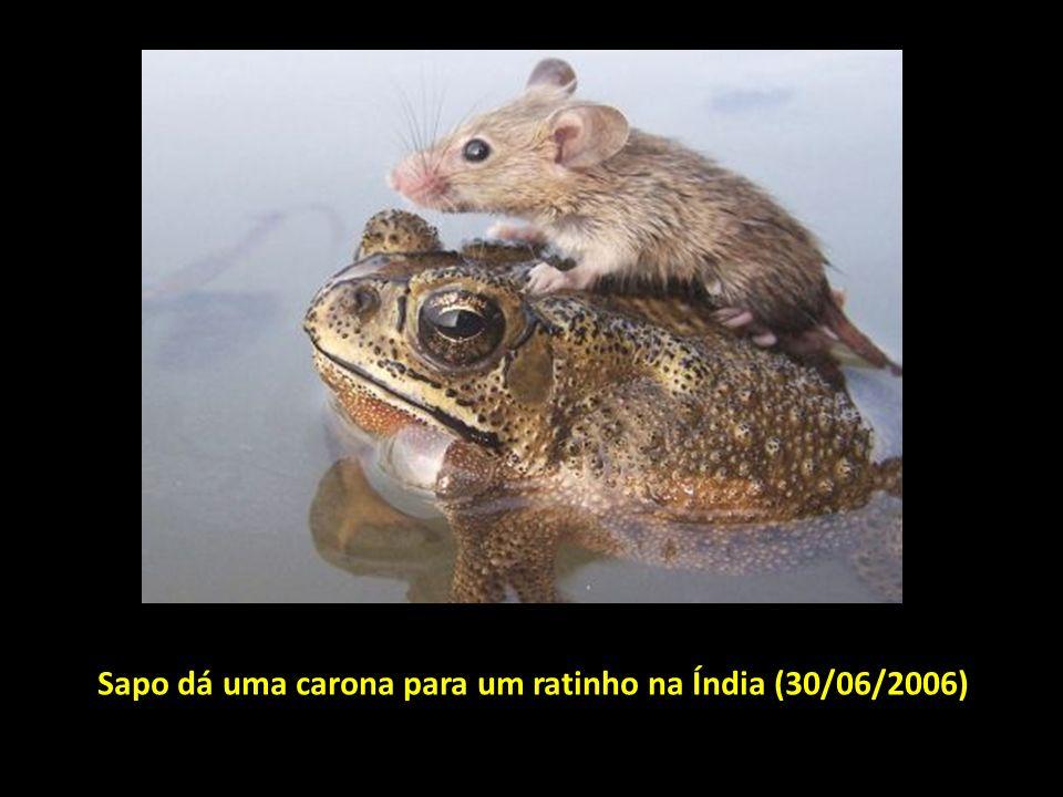 Sapo dá uma carona para um ratinho na Índia (30/06/2006)