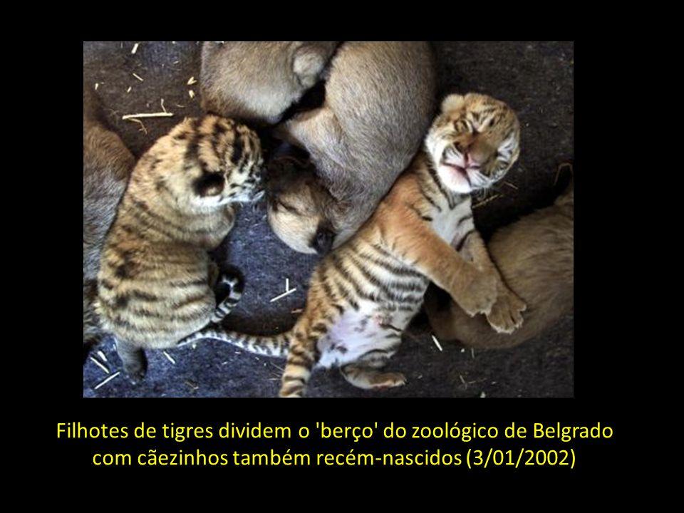 Filhotes de tigres dividem o berço do zoológico de Belgrado com cãezinhos também recém-nascidos (3/01/2002)