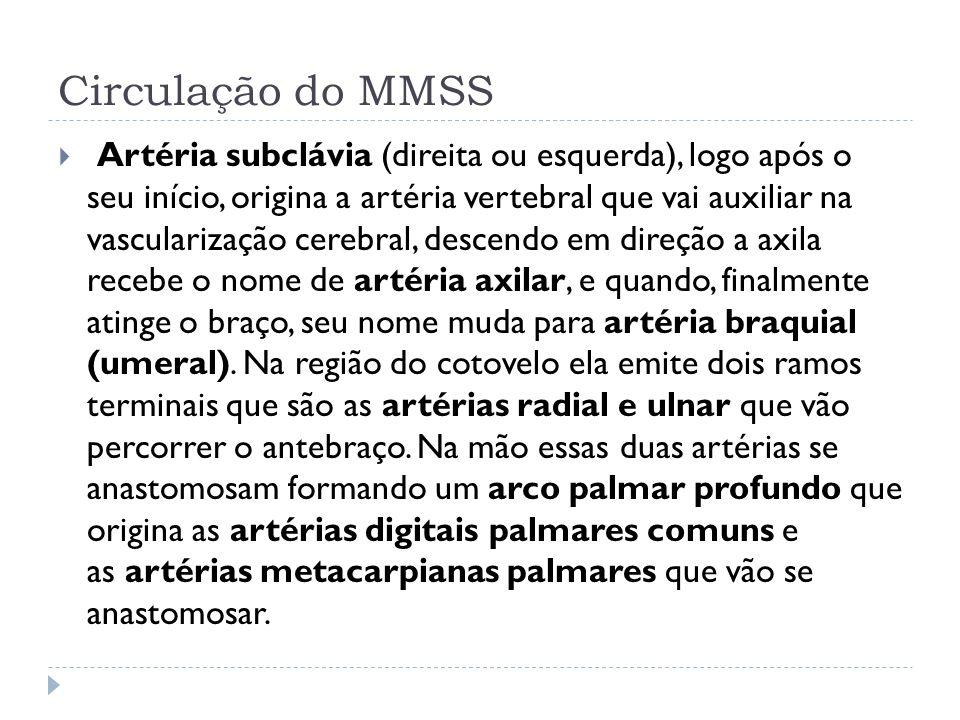 Circulação do MMSS Artéria subclávia (direita ou esquerda), logo após o seu início, origina a artéria vertebral que vai auxiliar na vascularização cer