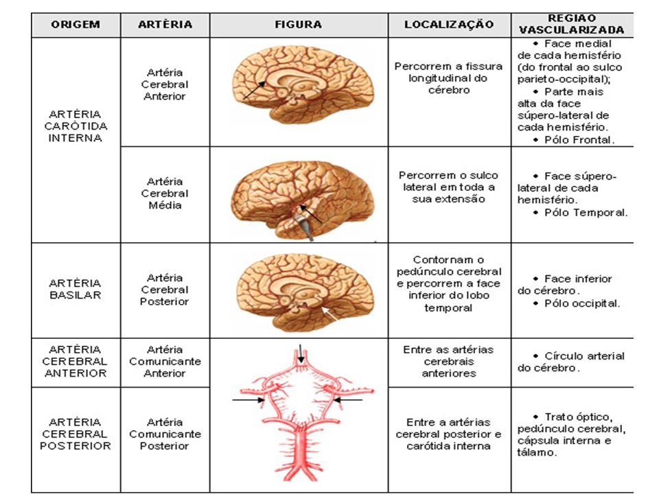 Moderno Anatomía Arterias Cerebrales Imagen - Imágenes de Anatomía ...
