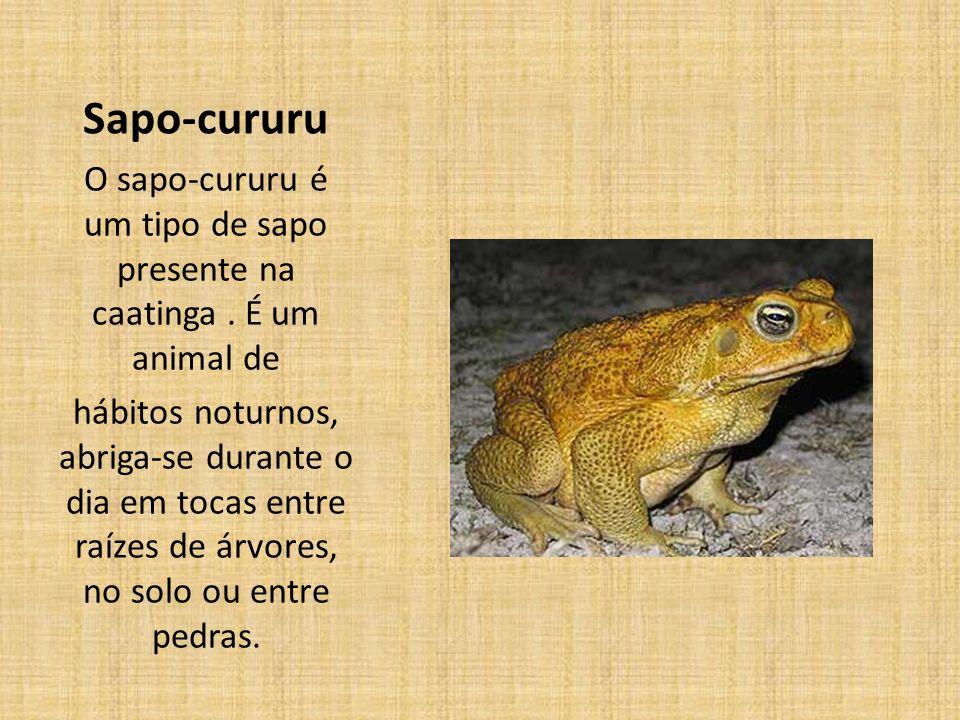 Sapo-cururu O sapo-cururu é um tipo de sapo presente na caatinga.