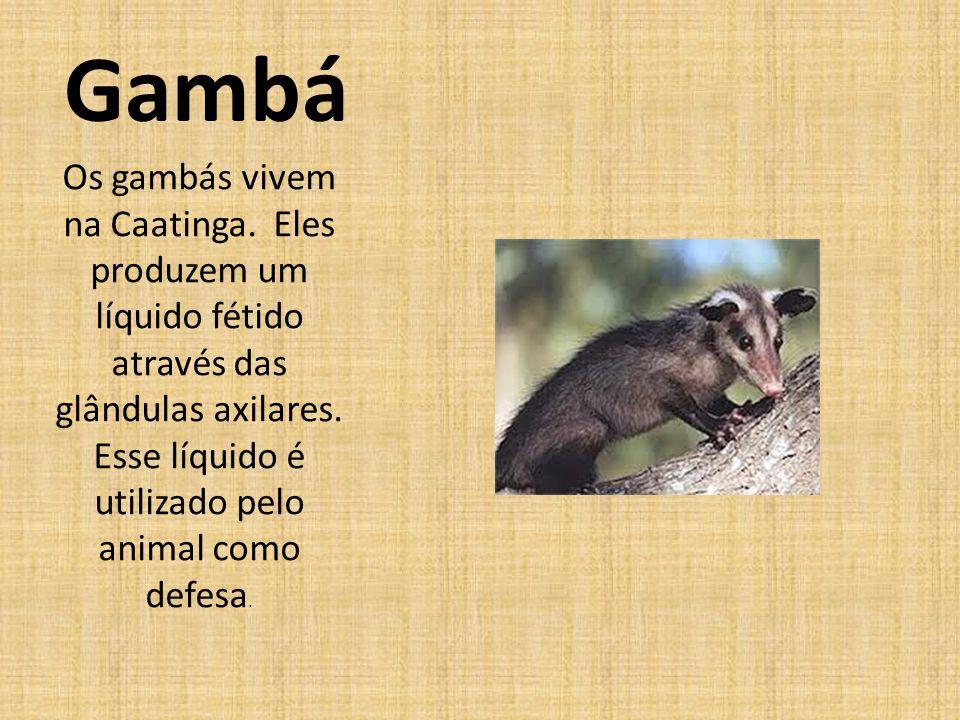 Gambá Os gambás vivem na Caatinga.Eles produzem um líquido fétido através das glândulas axilares.