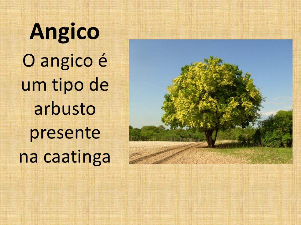 Angico O angico é um tipo de arbusto presente na caatinga
