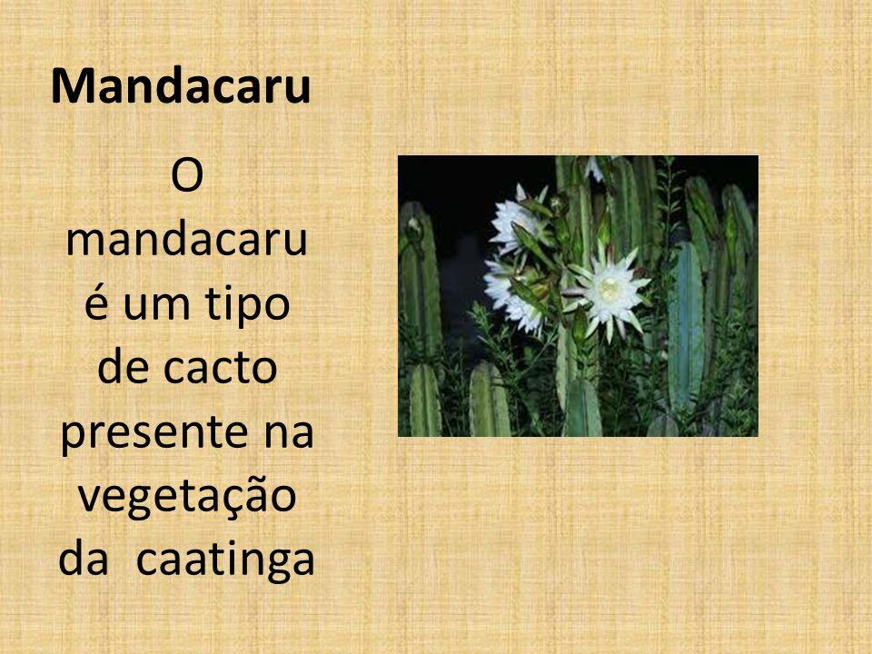 Mandacaru O mandacaru é um tipo de cacto presente na vegetação da caatinga