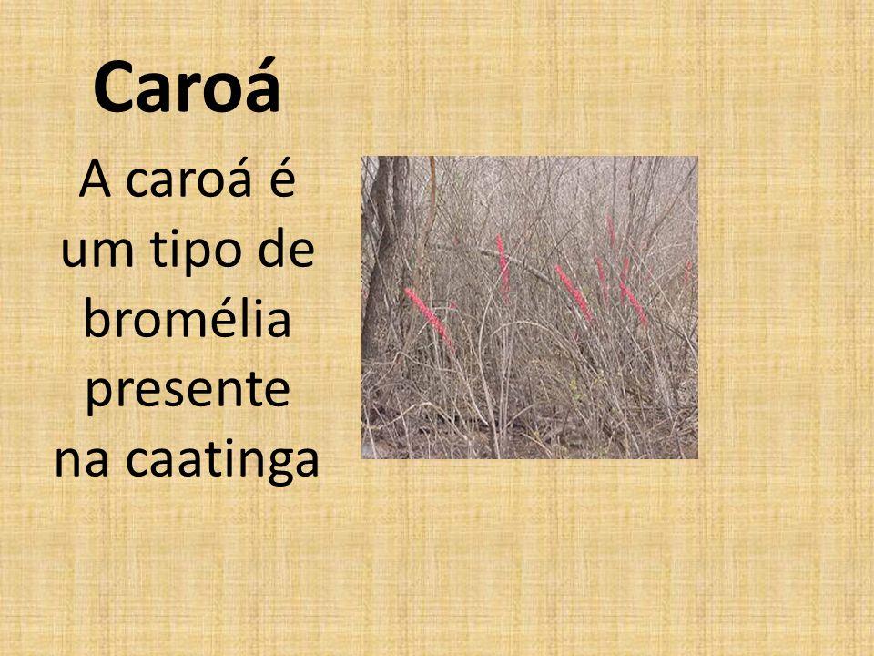 Caroá A caroá é um tipo de bromélia presente na caatinga