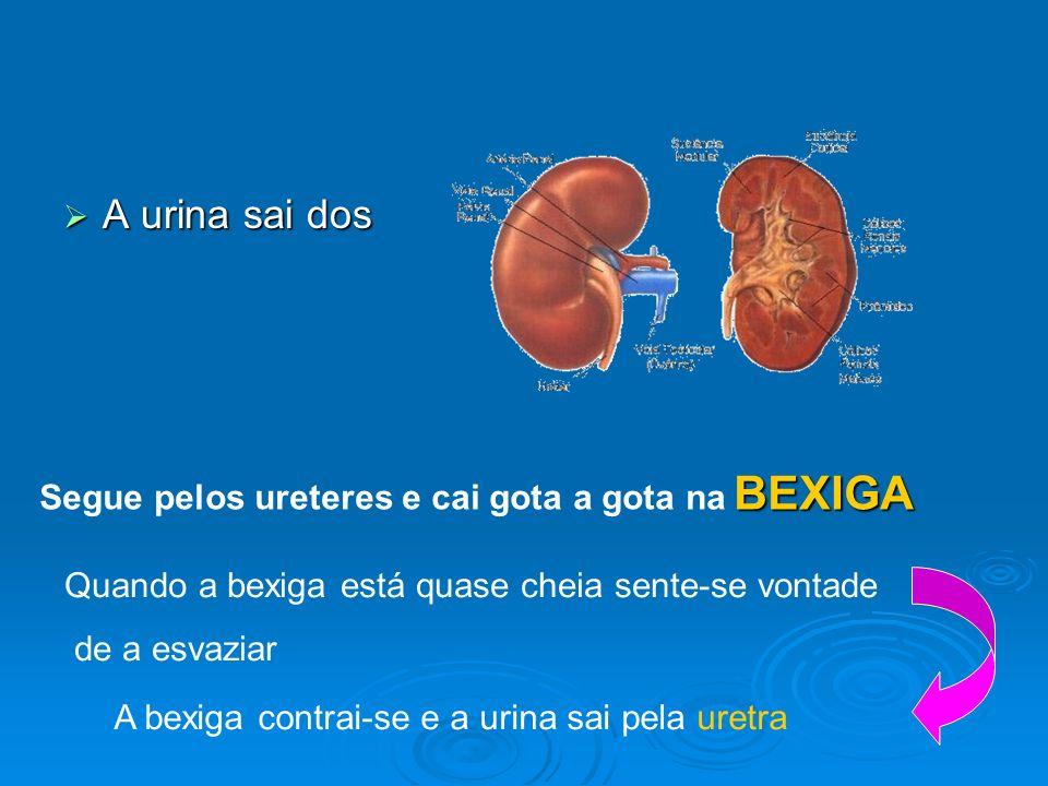 A urina sai dos BEXIGA Segue pelos ureteres e cai gota a gota na BEXIGA Quando a bexiga está quase cheia sente-se vontade de a esvaziar A bexiga contr