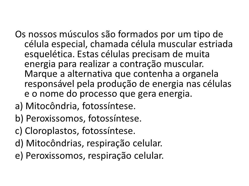 Os nossos músculos são formados por um tipo de célula especial, chamada célula muscular estriada esquelética. Estas células precisam de muita energia