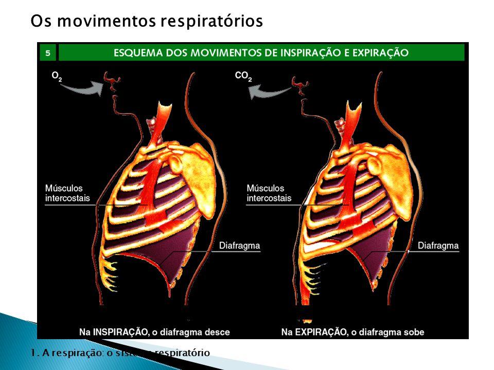 Na INSPIRAÇÃO, o diafragma desce. 1. A respiração: o sistema respiratório Os movimentos respiratórios Na EXPIRAÇÃO, o diafragma sobe.