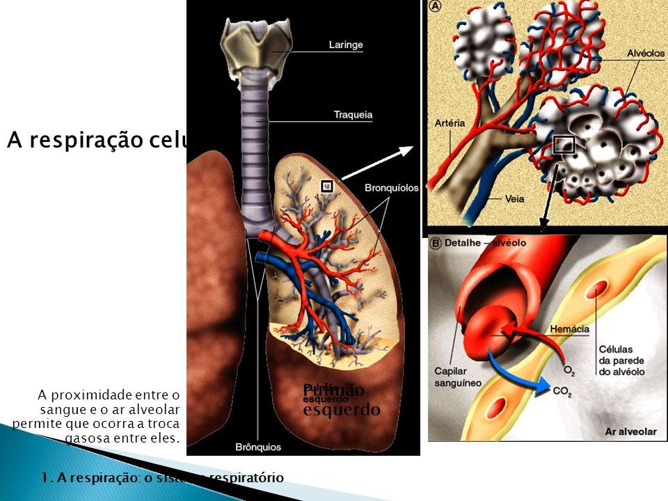 A respiração celular A proximidade entre o sangue e o ar alveolar permite que ocorra a troca gasosa entre eles. 1. A respiração: o sistema respiratóri