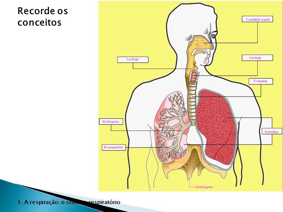 Recorde os conceitos 1. A respiração: o sistema respiratório Laringe Brônquios Bronquíolos Cavidade nasal Faringe Traqueia Pulmões Diafragma