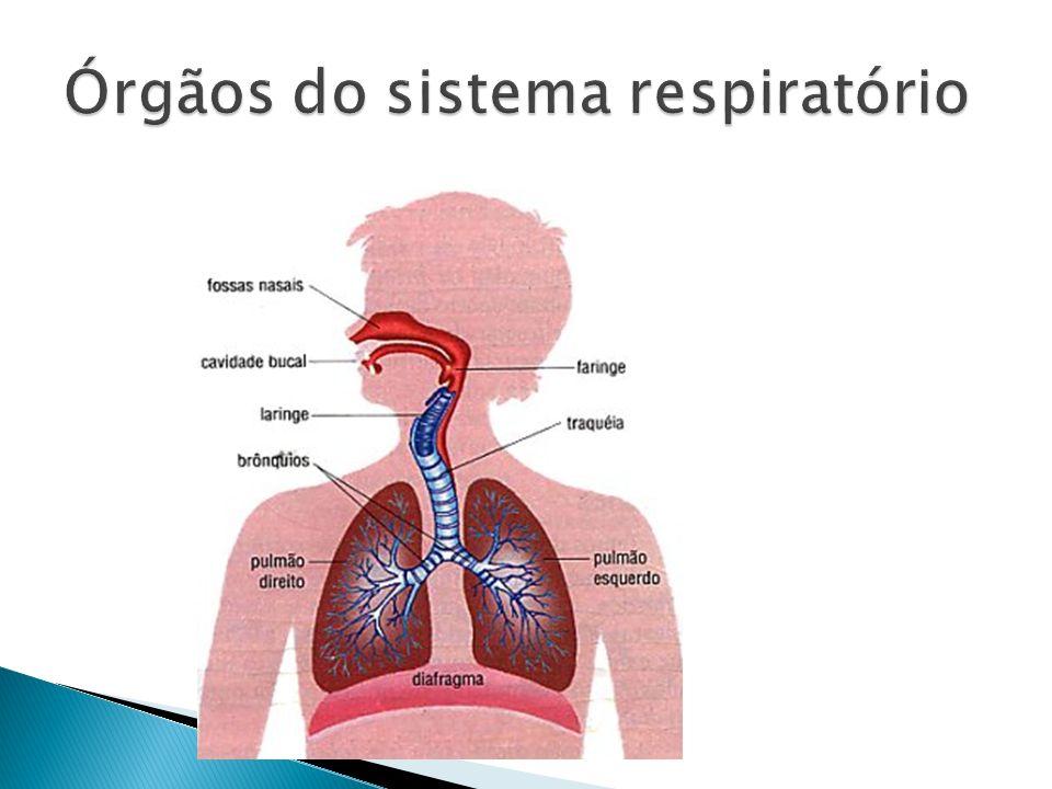 Faringe: é um canal comum aos sistemas digestório e respiratório e comunica-se com a boca e com as fossas nasais.