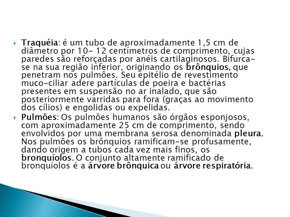 Faringe As vias respiratórias 1. A respiração: o sistema respiratório