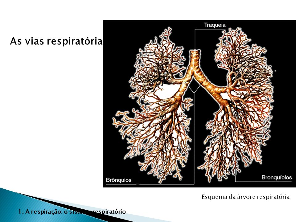 Esquema da árvore respiratória As vias respiratórias 1. A respiração: o sistema respiratório