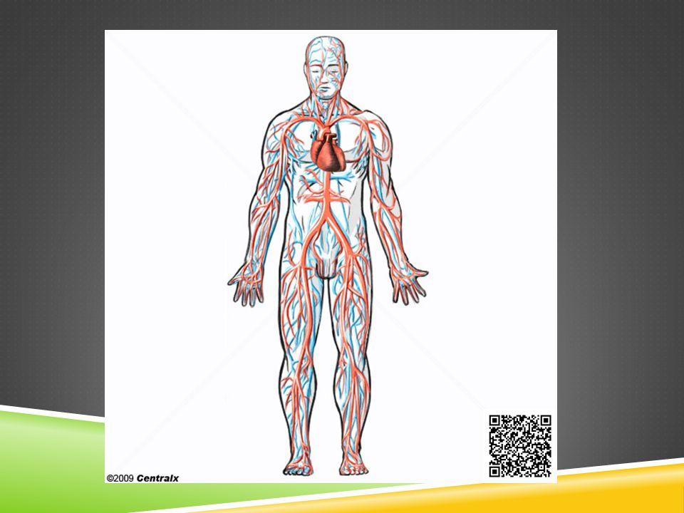 AVC No AVC hemorrágico (derrame) um vaso se rompe e o sangue extravasa alagando uma área da massa cinzenta.