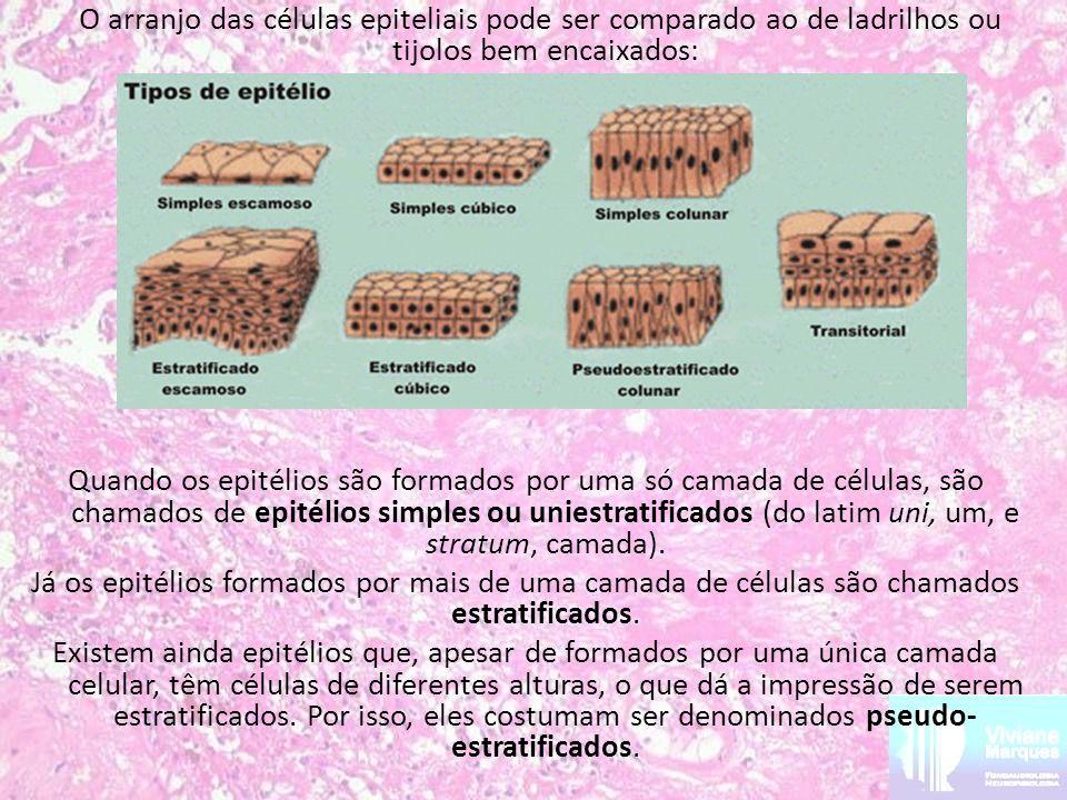 O arranjo das células epiteliais pode ser comparado ao de ladrilhos ou tijolos bem encaixados: Quando os epitélios são formados por uma só camada de c