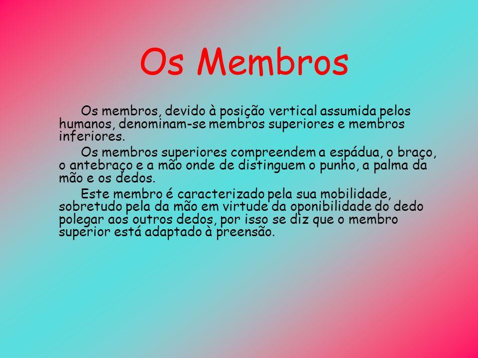 Os Membros Os membros, devido à posição vertical assumida pelos humanos, denominam-se membros superiores e membros inferiores. Os membros superiores c