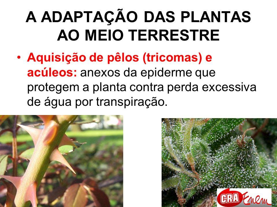 A ADAPTAÇÃO DAS PLANTAS AO MEIO TERRESTRE Modificação de folhas e caules a espinhos: diminui a área superficial, diminuindo a transpiração