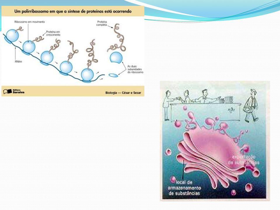Vacúolos: São estruturas freqüentes nas células vegetais adultas, em número de um ou mais, que geralmente ocupam posição central, deslocando o citoplasma e o núcleo para a parte periférica da célula.