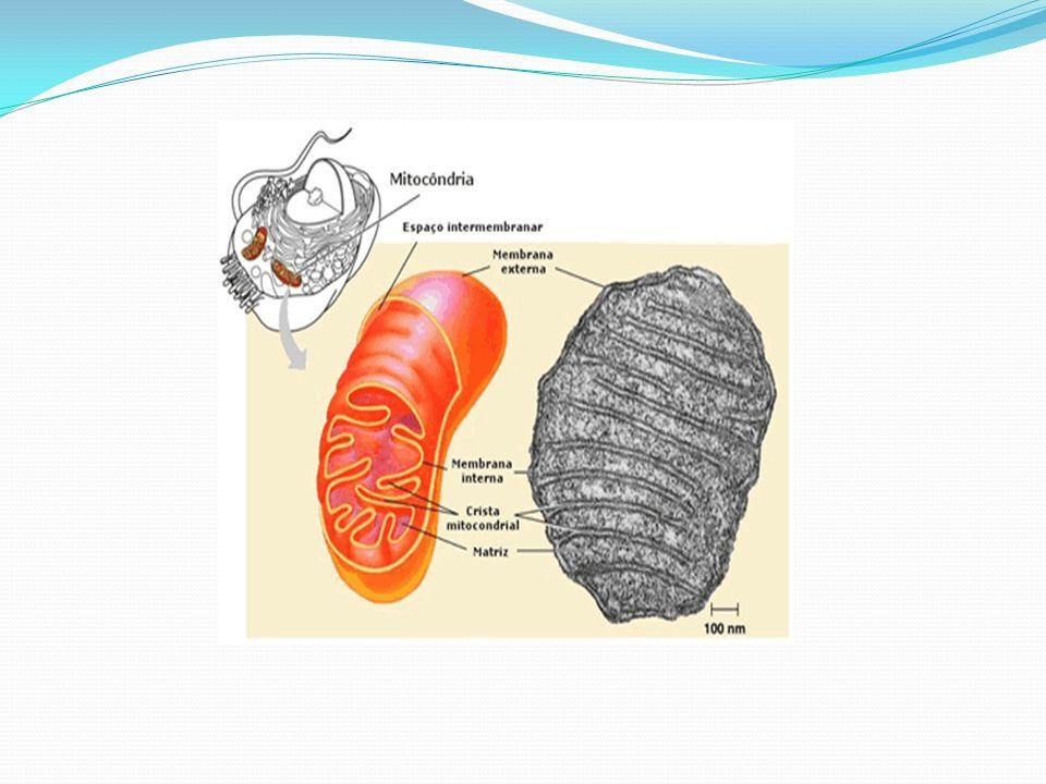 Centríolo: Não ocorre nas células de vegetais evoluídos como as angiospermas e a maioria das gimnospermas.