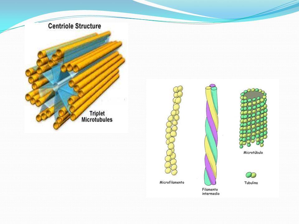 Núcleo: As células vegetais são, normalmente, uninucleadas, mas existem estruturas polinucleadas (cenocíticas).