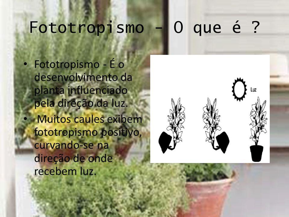 Fototropismo - O que é ? Fototropismo - É o desenvolvimento da planta influenciado pela direção da luz. Muitos caules exibem fototropismo positivo, cu