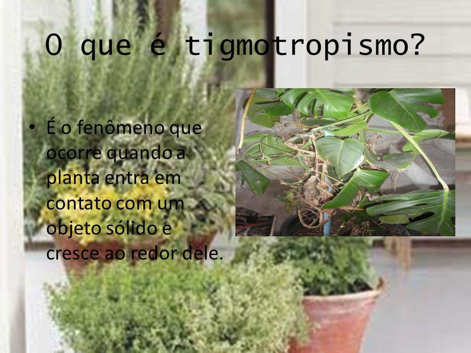 O que é tigmotropismo? É o fenômeno que ocorre quando a planta entra em contato com um objeto sólido e cresce ao redor dele.