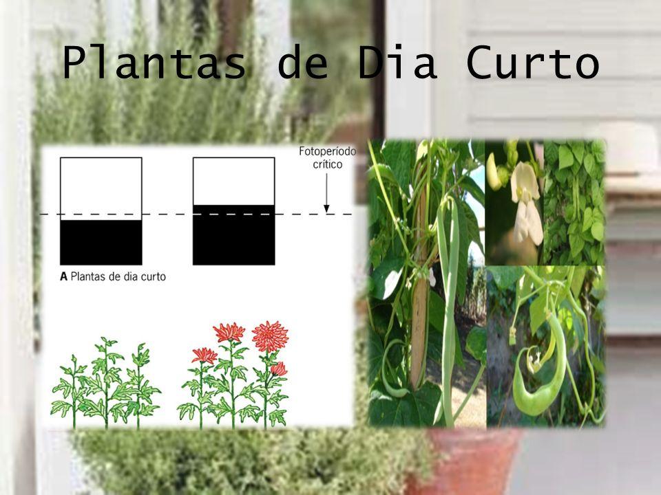 Plantas de Dia Curto