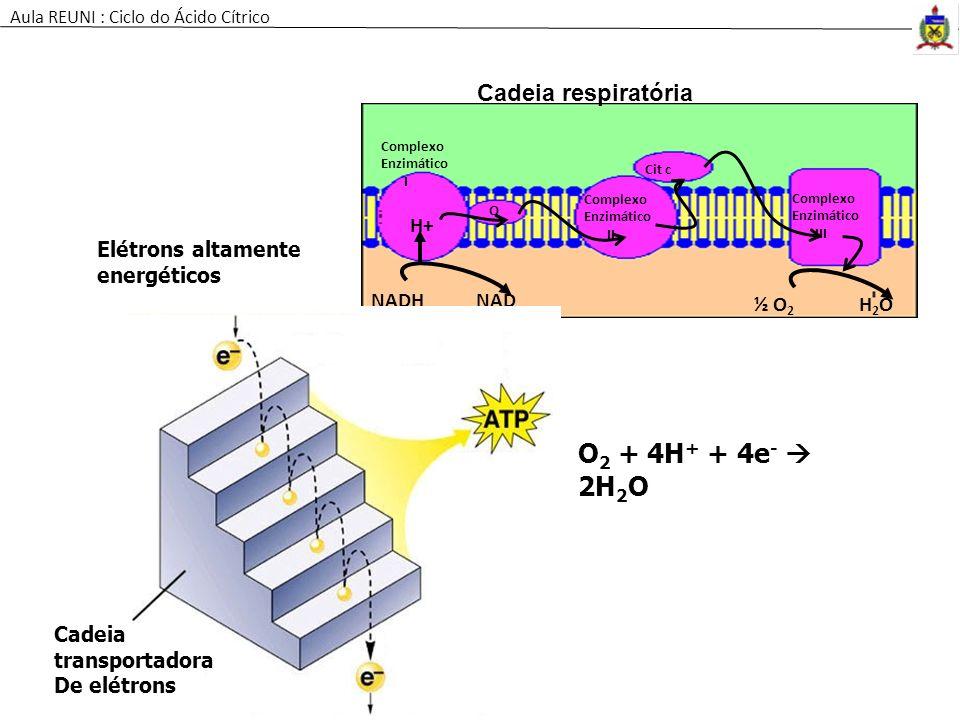 NADHNAD Complexo Enzimático I Q Cit c Complexo Enzimático II Complexo Enzimático III H+ ½ O 2 H2OH2O H+ Cadeia respiratória Elétrons altamente energét