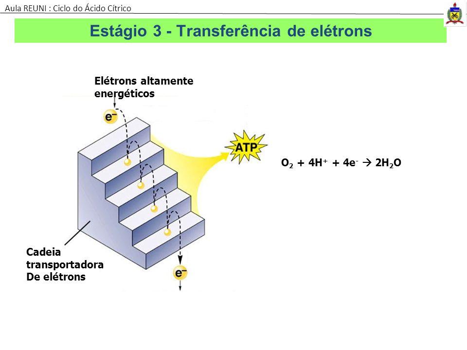 H+ Elétrons altamente energéticos Cadeia transportadora De elétrons O 2 + 4H + + 4e - 2H 2 O Estágio 3 - Transferência de elétrons Aula REUNI : Ciclo