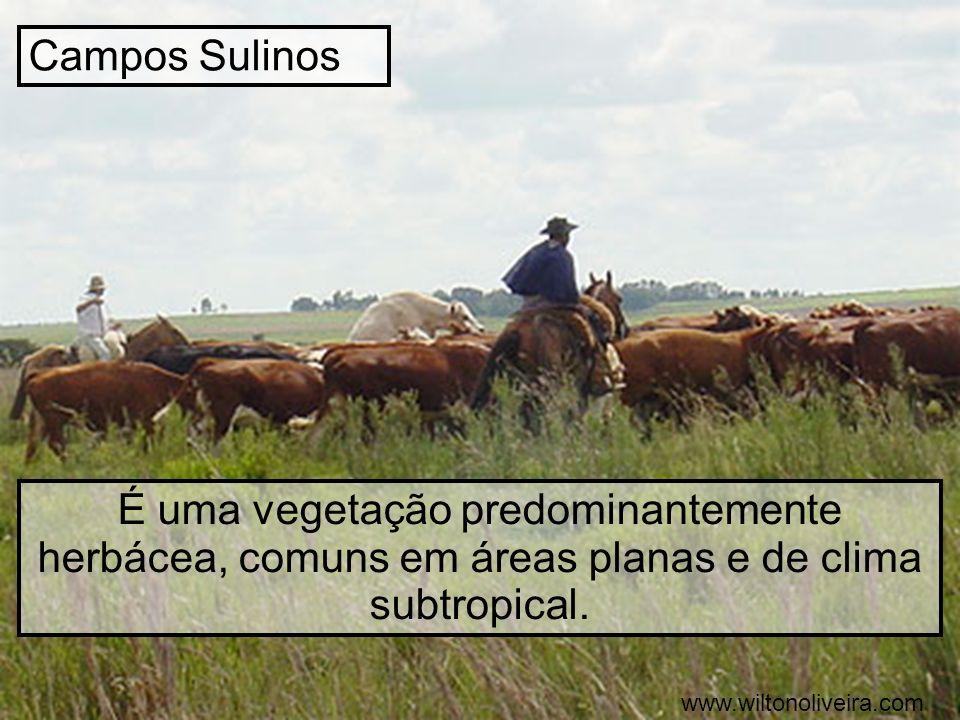 Campos Sulinos É uma vegetação predominantemente herbácea, comuns em áreas planas e de clima subtropical. www.wiltonoliveira.com