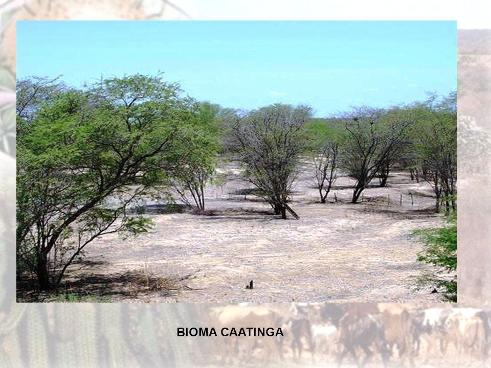 O solo é rico em sais minerais e paupérrimo em matéria orgânica, pouco profundo e pedregoso. As plantas possuem raízes superficiais para o máximo de a