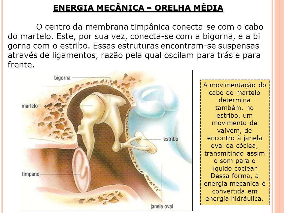 ENERGIA MECÂNICA – ORELHA MÉDIA O centro da membrana timpânica conecta-se com o cabo do martelo. Este, por sua vez, conecta-se com a bigorna, e a bi g