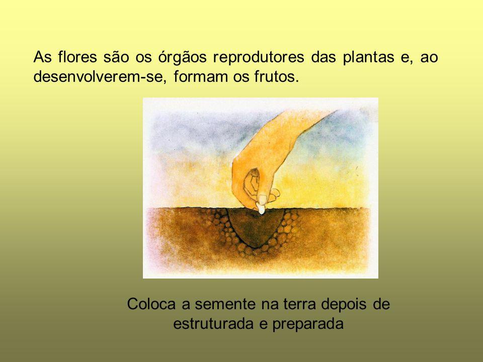 As flores são os órgãos reprodutores das plantas e, ao desenvolverem-se, formam os frutos. Coloca a semente na terra depois de estruturada e preparada