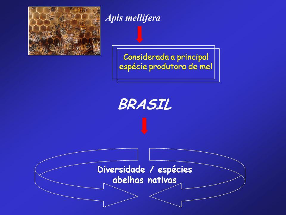 Considerada a principal espécie produtora de mel Apis mellifera Diversidade / espécies abelhas nativas BRASIL