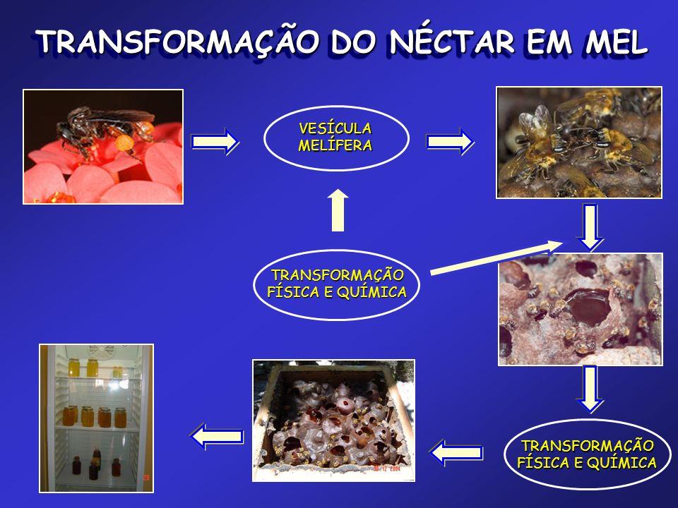 VESÍCULAMELÍFERA TRANSFORMAÇÃO FÍSICA E QUÍMICA TRANSFORMAÇÃO TRANSFORMAÇÃO DO NÉCTAR EM MEL