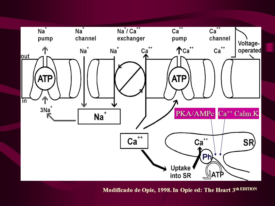 Modificado de Opie, 1998.